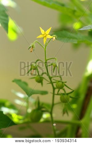 Tomato plant - from the yellow flower to the green tomato fruit