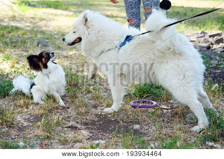 White Samoyed laika girl dog in the park outdoor in summer playing with her little Chihuahua friend. Large breed herding dog and the smallest breed dog.