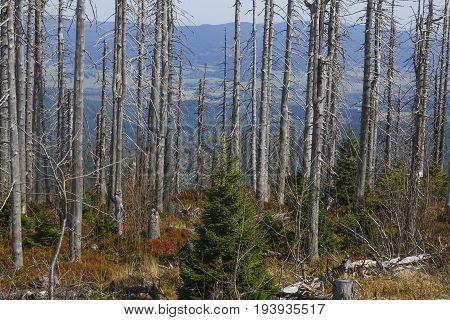 dead dry forest - bark beetle calamity on national park Sumava