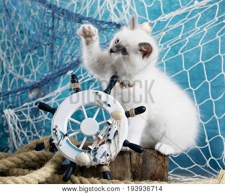 Kitten Sits next to the sea decor, breed ragdoll