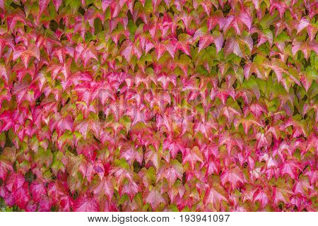 Boston Ivy - floral texture close up