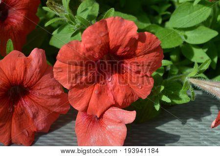 A petunia flower growing in the garden