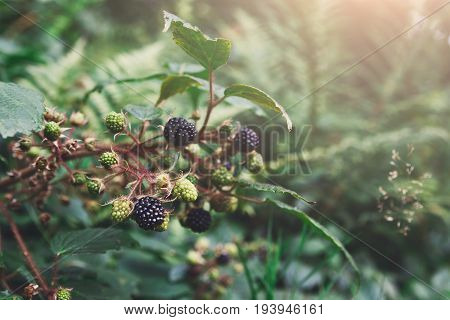 Branch of wild blackberry with ripe fruits close-up in the forest