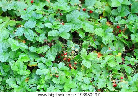 Wild strawberries with ripe berries. Home grown wild strawberry in the garden