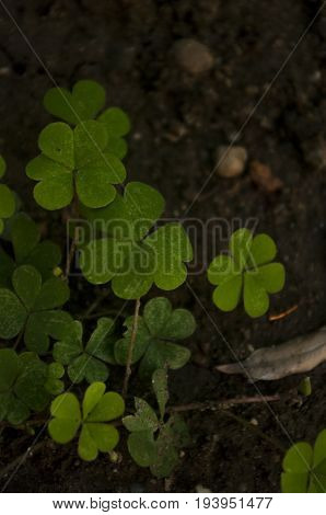 Crenatae Water-clover's fresh bright green leaves(Marsilea minuta)