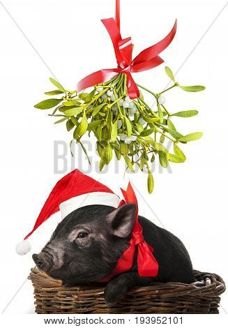 a cute little black pig with a red santa cap