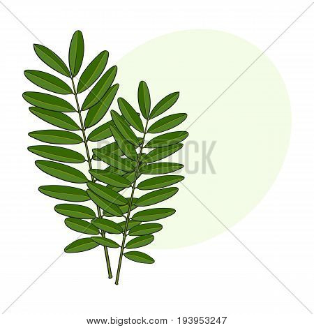 Beautiful hand drawn senna twig, branch, decoration element, sketch vector illustration with space for text.