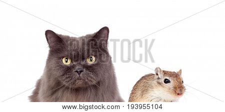 Grey cat and brown mouse isolated on a white background. Dangerous friendship