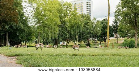 Multiple giant Canada goose geese birds resting eating in fresh green grass in German city of Kehl. The Canada goose (Branta canadensis) is a large wild goose species with a black head and neck white patches on the face and a brown body