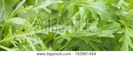 fesh roquette/rucola/wild rocket / (type of lettuce) in a glasshouse