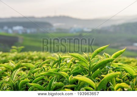Closeup View Of Scenic Young Green Tea Leaves At Sunset