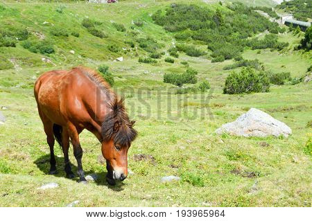 Brown horse grazing in the tyrolean mountains in Austria