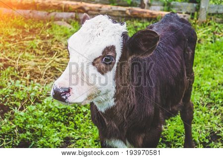 Calf Bull Cow In The Pen Of A Village