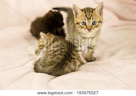 Tiger Striped Kitten On Pink Blanket