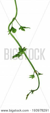 twig of hop isolated on white background. Beer hops ingredient. isolated on a white background Without a shadow.