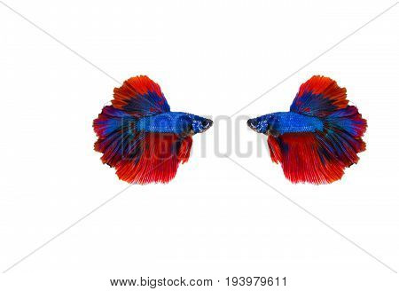 Siamese fighting fish (Double-Tail Halfmoon) Beautiful red tail isolated on black background.