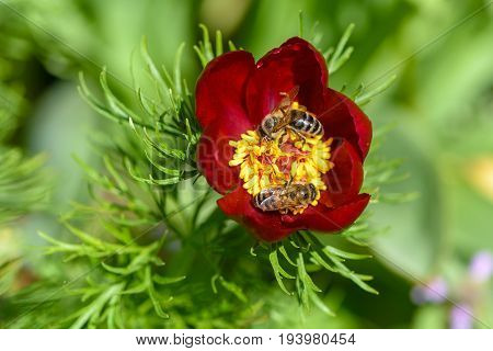 Two bees pollinate the peony flowers with red petals and thick yellow stamens