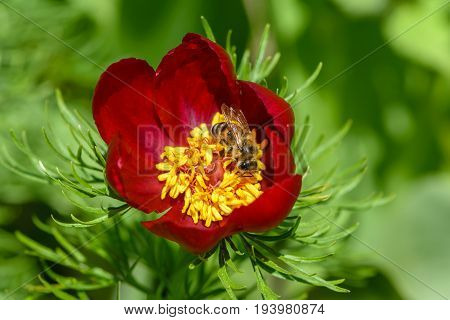 The bee pollinates the peony flowers with red petals and thick yellow stamens