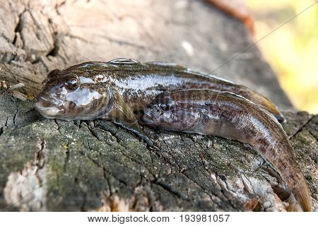 Two Freshwater Bullhead Fish Or Round Goby Fish Just Taken From The Water On Wooden Background.
