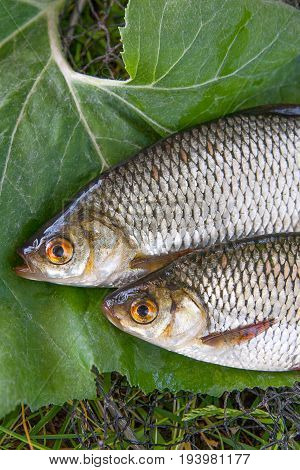 Close Up View Of Two Freshwater Common Rudd Fish On Big Green Leaf..