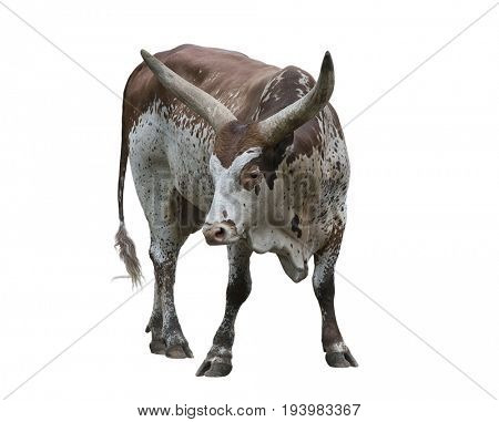 Brown and white longhorn steer portrait isolated on white background