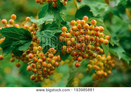 Closeup Of Bunch Of Ashberries On The Branch