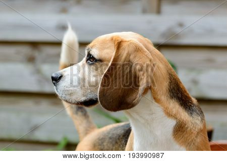 Beagle pure hunting hound dog looking to the left in a allert position close view