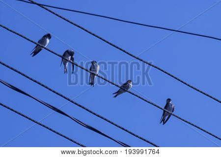 Group of swallow or martin, Delichon urbica to sit on metal wire relax and associate, Plana mountain, Bulgaria