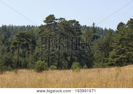 Beautiful landscape of summer nature with flower glade and coniferous forest,  Plana mountain, Bulgaria