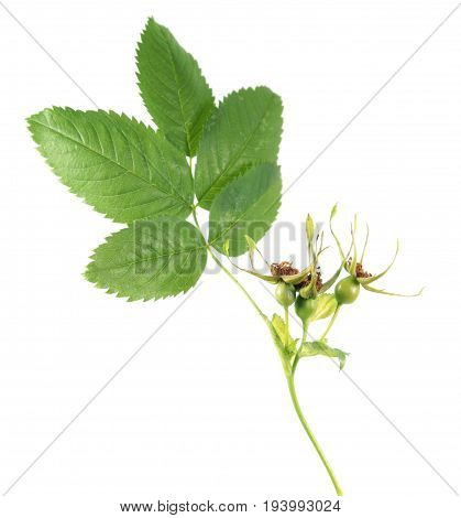 Unripe green rose hips from dog-rose (Rosa canina) isolated on white background. Branch of rose with green leaves and rose hips