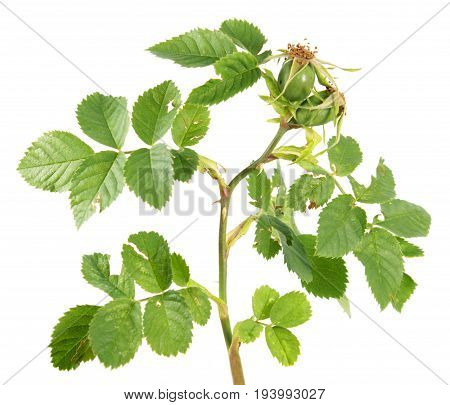 Unripe green rose hips isolated on white background. Branch of rose with green leaves and rose hips