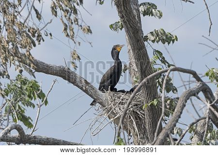 Double Crested Cormorant on its nest on grotto Lake in Fergus Falls Minnesota