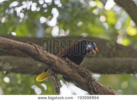 Montezuma Oropendola in a tree near Sarapiqui Costa Rica