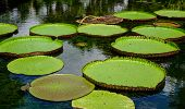 Giant water lilies (Victoria Amazonica) at Sir Seewoosagur Ramgoolam Botanic Garden in Mauritius. poster