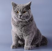 Gray British cat half a year from birth sits on a purple background. poster