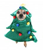 cute chihuahua dressed up in a tree costume poster