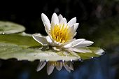 The water yellow-white lily poster