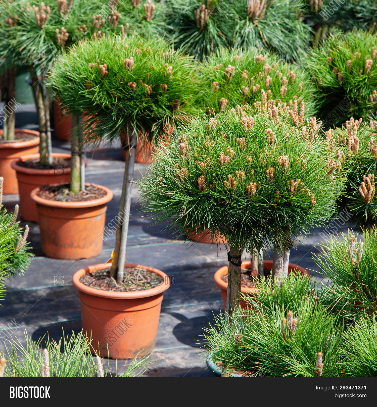 Small Pine Trees Image Photo Free