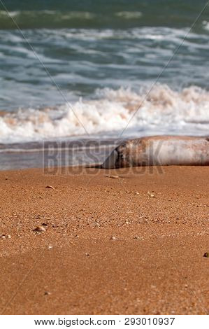 Dead Dolphin On Beach. Common Porpoise (phocoena Phocoena Relicta). Marine Mammals Increasingly Dyin