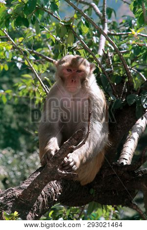 Male Rhesus Macaques Watching The Environment. The Watchful Leader Of The Pack, Portrait Of Monkey