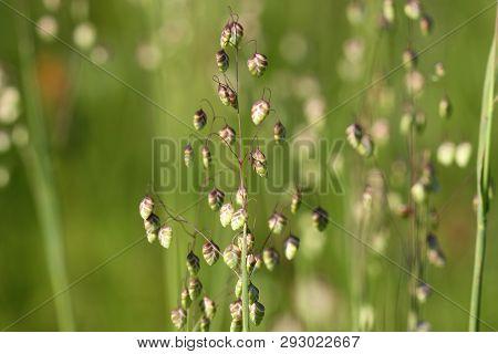 Briza Media Quaking-grass - Decorative Grass Background