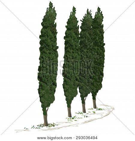 Four Trees Of A Cypress (cupressus L.) And A Footpath Along Them, The Color Vector Image On A White
