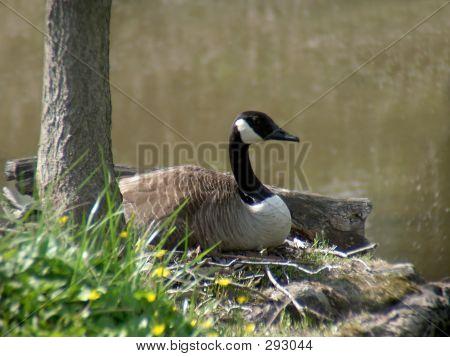 Resting Canada Goose