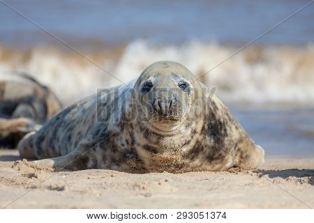 Grey Seal Portrait Image. Beautiful Marine Mammal Looking At Camera. Gray Seal (halichoerus Grypus)