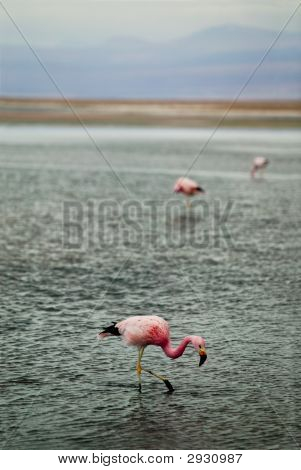 Flamingos In Shallow Water