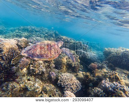 Sea Turtle In Blue Water Above Coral Reef.