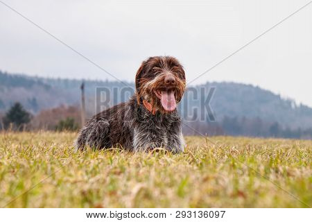 Dog (hound - Bohemian Wire Haired Pointing Griffon) Is Laughing His Head Off In The Middle Field. Bi