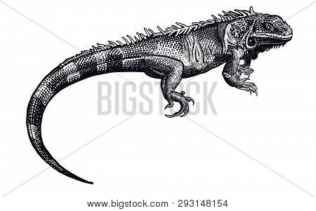 Lizard Iguana Isolated. Black And White Reptile. Vector Illustration. Hand Drawing Realistic. Vintag
