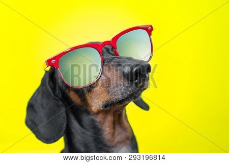 Funny   Breed Dog Dachshund, Black And Tan, With Sun Glasses, Yellow Studio Background, Concept Of D