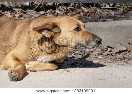 The dog is a sad pooch bitch lying on an asphalt road on a bright spring day poster
